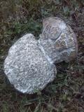Calvatia cyathiformis image