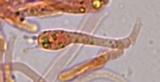 Hydropus marginellus image