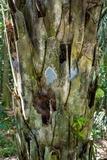 Image of Grammothele boliviana