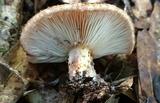 Lactarius speciosus image