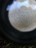 Boletopsis grisea image