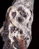 Leptosphaeria polylepidis image