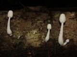 Leucocoprinus cretaceus image