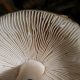 Amanita dulciarii image