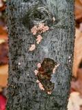 Image of Corticium lombardiae