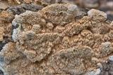 Sarcodontia pachyodon image