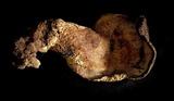 Albatrellus ellisii image