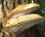 Aurantiporus fissilis image