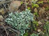 Cladonia polycarpia image