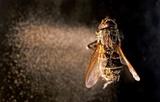 Entomophthora muscae image