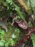 Phaeocollybia gregaria image