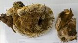 Ischnoderma benzoinum image