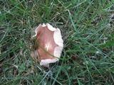 Rugosomyces carneus image
