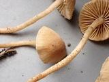 Flammulaster carpophilus image
