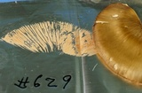 Entoloma griseum image