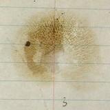 Suillus decipiens image