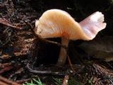 Rhodocollybia badiialba image