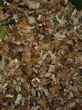 Hygrophorus russula image