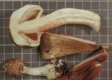 Agaricus buckmacadooi image