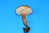 Tricholoma fulvum image