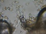 Hebeloma helodes image