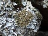 Physconia enteroxantha image