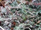 Cladonia subradiata image