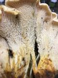 Cantharellus cascadensis image