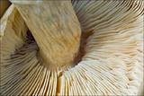 Melanoleuca cognata image