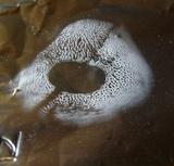 Hydnum cuspidatum image