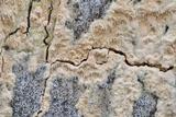 Radulodon copelandii image