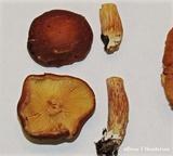 Gymnopilus humicola image