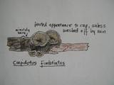 Crepidotus fimbriatus image