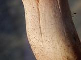 Melanoleuca evenosa image