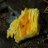 Fibroporia radiculosa image