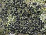 Toninia aromatica image