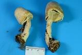Agaricus diospyros image