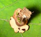 Tylopilus badiceps image