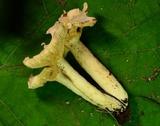 Lactarius subvernalis var. cokeri image