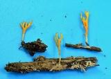 Ramariopsis crocea image