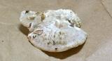 Tyromyces galactinus image