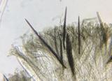 Trichoglossum velutipes image