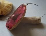 Russula cessans image