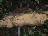 Dichostereum effuscatum image