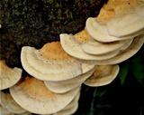 Rigidoporus ulmarius image