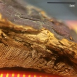 Ganoderma polychromum image