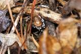 Dasyscyphus bicolor image