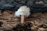 Lentinellus subaustralis image