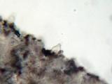 Psathyrella pennata image