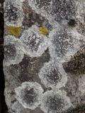 Lecanora campestris image